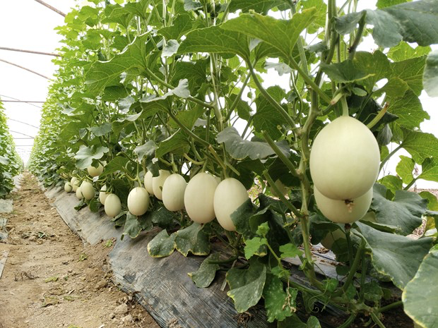 云上农产品登录淘宝吃货,阿里云农业大脑培育了甜瓜和生菜