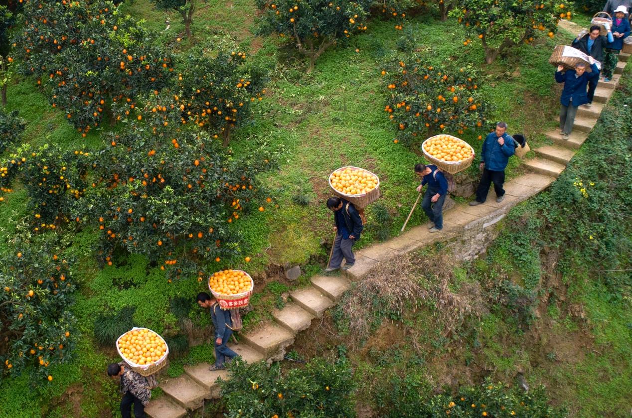 """拼多多""""水果自由""""大促正式启动,每日供应5000吨原产地平价水果"""