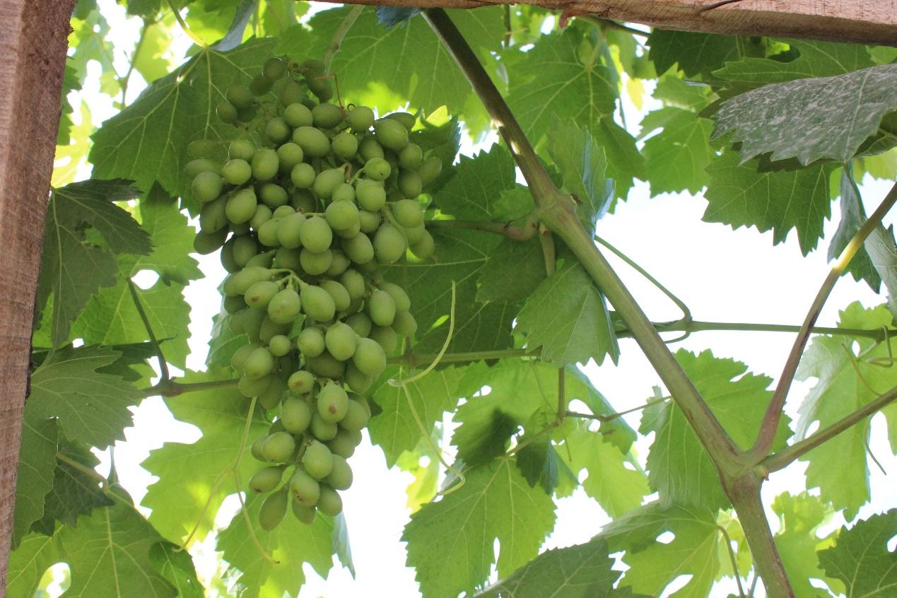 苏宁拼拼农庄走进新疆,签下百万斤葡萄和巴仁杏助力三区三州脱贫