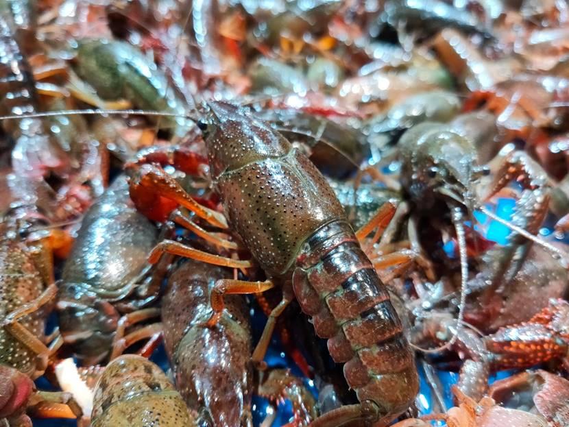 帮虾农抢时间!盒马一口气从湖北买下10亿元小龙虾
